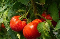 Dziadek zdradził mi swój sposób na obfite plony pomidorów. Nigdy wcześniej tyle nie zebrałem - Smak Dnia Gardening Tips, Stuffed Peppers, Vegetables, Food, Garten, Stuffed Pepper, Veggies, Essen, Veggie Food