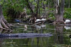 Gators and tropical birds in The Ocala National Forest, Florida