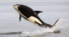 """The orca, or """"killer whale"""" (Orcinus orca) is a toothed whale and is the largest member of the dolphin family. It is highly social and composed of matrilineal family groups. Orcas have long, rounded bodies with large dorsal fins at the middle of their backs. Their black bodies are marked with white patches on the underside and near the eyes."""