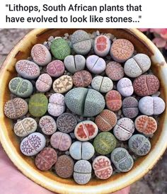 lithops from South Africa