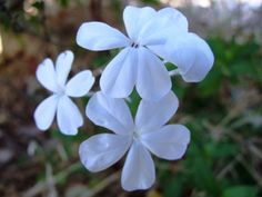 Plumbago auriculata is used traditionally to treat warts, broken bones and wounds. It is taken as a snuff for headaches and as an emetic to dispel bad dreams. Evergreen Shrubs, White Flowers, Plants, Garden, Evergreen, Medicinal Plants, Potted Plants, Flowers