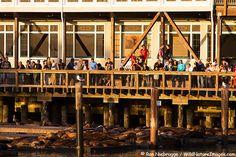 California Sea Lions at Pier 39 draw a crowd, San Francisco, California