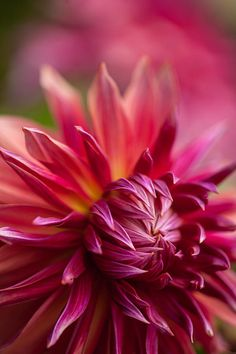 1405 best flowers pink red orange images on pinterest beautiful red dahlia radiance photograph by mike reid red dahlia radiance fine art prints and posters for sale mightylinksfo