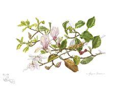 Magnolia x soulangeana | gaynorsflora