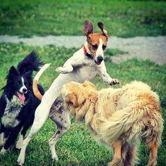"""Look, look!  This is my 'flying squirrel'!"" #evasplaypupspa #sillypooch #smilingdogs #dogcamp #doggievacays #bordercolliesofinstagram #goldensofinstagram #dogdaysofsummer #dogsofinstagram"