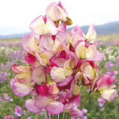 Sweet Pea Spanish Dancer Mr Fothergills Range Seed - Irish Plants Direct
