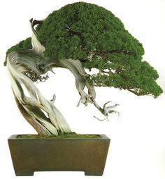 juniper #bonsaitrees