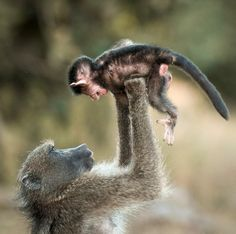Just like humans, the mother baboon plays aeroplane. Lifting its baby into the air in South Africa's Kruger National Park