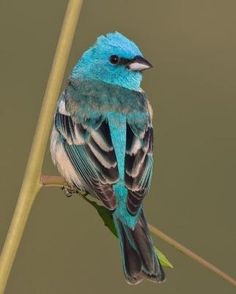 The Lazuli bunting(Passerina amoena)           is a North American songbird named for the gemstone lapis lazuli. The male is easily recognized by its bright blue head and back, its conspicuous white wingbars, and its light rusty breast and white belly.