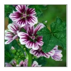 Common Mallow Image