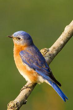 Eastern Bluebird by alextbaum Small Birds, Little Birds, Colorful Birds, Rare Birds, Exotic Birds, Pretty Birds, Beautiful Birds, Funny Animals, Cute Animals