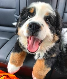 Have a Bernese mountain dog or maybe 3 - Tap the pin for the most adorable pawtastic fur baby apparel! You'll love the dog clothes and cat clothes! <3 #BerneseMountainDog