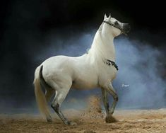 Arabic horse Arabian عربي horse حصان