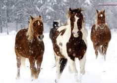 Vista Verde Ranch, Steamboat Springs, Colorado -- Horses running winter snow by vistaverderanch, via Flickr