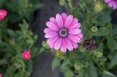 다 핀 꽃과 피지못한 옆의 꽃. 아니 피고 있는 꽃.