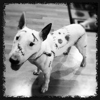 Ichabod the English Bull Terrier's Halloween Costume 2012 (Frankenweenie) by ~DianaArtimis on deviantART