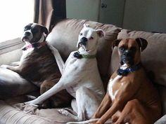 Just sittin'..... the fabulous #Boxer trio.