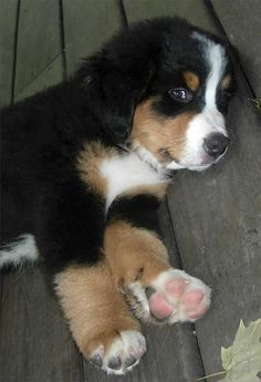 Bernese Mountain Puppy ... saw one this spring in Loveland, CO. Wanted to take him home! They are hearty, smart, and seriously made for the mountains. The ones we met were RESCUE dogs:) COOL!