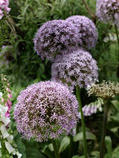 My favorite bulbs! Plant 'Globemaster' alliums and Camelot foxgloves for colorful, thriving #flowers. #gardening