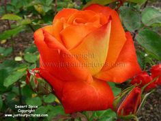 Desert Spice A Glowing Red And Orange Blend Rose