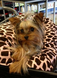 My beautiful girl London, Yorkshire terrier, Yorkie love :)