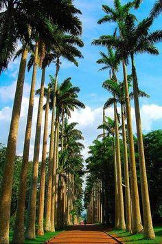 Palm tree avenue in Aburi Botanical Gardens - Ghana
