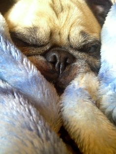 This pug is too comfy to move.
