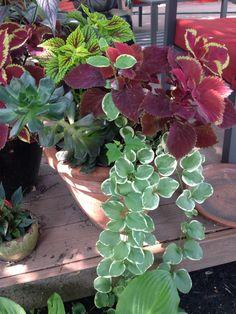 Coleus, vinca vine, and succulent.