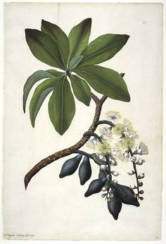 sydney parkinson. botanical drawing.