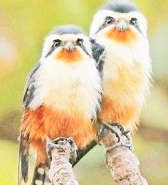 pair of collared falconets found in asia by sheav torng lim