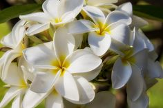 #Plumeria (common name #Frangipani) #Maui, #Hawaii.  Plumeria flowers are most fragrant at night in order to lure sphinx moths to pollinate them. The flowers have no nectar