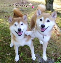 Hey, while the humans are under Shiba mind control, ask for another treat!
