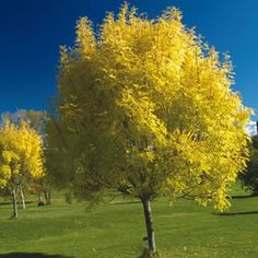 Fraxinus americana  Ash White is a fast-growing, low-care, multipurpose landscape tree that adapts to almost any conditions. A great shade tree and has good autumn foliage of yellow to purple colourings. Prefers full sun to part shade position.  Grows 6m high x 6m%...