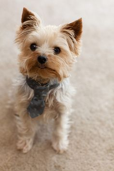 Yorkshire Terrier – Energetic and Affectionate Yorkies, Yorkie Puppy, Cute Puppies, Cute Dogs, Dogs And Puppies, Yorky Terrier, Baby Animals, Cute Animals, Organic Dog Food