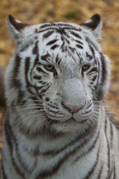 0348 - White tiger by Jay-Co.deviantart.com on @DeviantArt