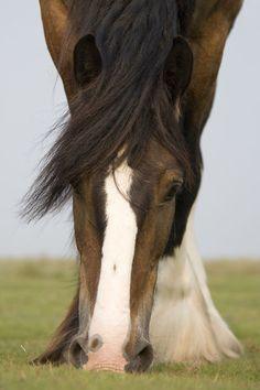 Shire Horse - Christiane Slawik