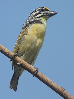 Yellow-fronted Tinkerbird - Pictures and facts Types Of Forests, South African Birds, Unique Animals, African Animals, Wild Birds, Beautiful Birds, Pet Birds, South America, Habitats