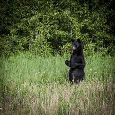 A black bear standing on it's hind legs in a field of grass at Cades Cove