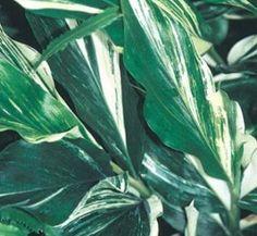 Alpinia japonica 'Extra Spicy' 1