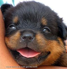 Look at that face! #Rottweiler