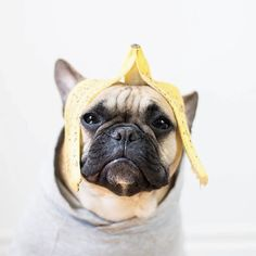 """Don't question my Art"", Mr. Marcel, the French Bulldog Artíst, (@mr.marcel) #mrmarcel #banana #bananapeel #hat #love #cute #funny #funnydog #cooldog #hatfashion #art #frenchbulldog #frenchbully #frenchie #frenchbulldogs #frenchbullies #frenchies #nicehat #dogwear #doghat #dogstagram #petstagram #pet #pets #model #dogmodel #petmodel #petphotography #dogphotography by oscarandethel #lacyandpaws"
