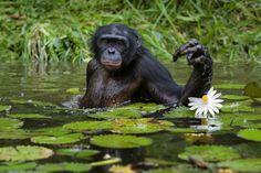 Bonobos love eating water lilies