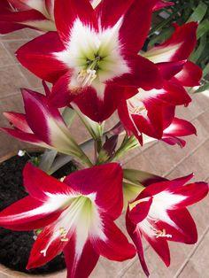 Amaryllis red white green