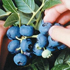 Dwarf Northblue Blueberry - grows to 2-3 ft, rather than 6 ft of other varieties. Good for MN climate. Large berries.