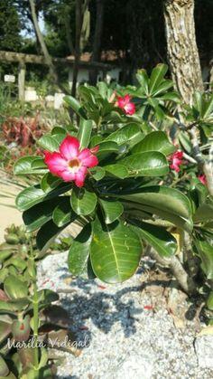 Rosa do deserto- Jardim Botânico - Rio de Janeiro -  Foto : Marília Vidigal Carneiro