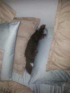 Chocolate pomeranian....sleeping...lol