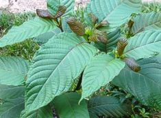 Mitragyna speciosa popularly known as Kratom is a plant commonly found in regions around South-East Asia. It is a plant native to Malaysia, Thailand, Indonesia and Papua New Guinea. Kratom, the pla… Where To Buy Kratom, Opiate Withdrawal, Mitragyna Speciosa, Meth Addiction, Addiction Recovery, Chronic Pain, Chronic Illness, Herbal Remedies, Natural Remedies