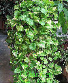 Pothos, Silver Vine, Money Plant-Epipremnum Aureum - Garden World