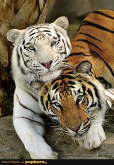 Best Friends Forever White Tiger and Bengal Tiger Beautiful Cats, Animals Beautiful, Beautiful Creatures, Amazing Animals, Beautiful Couple, Big Cats, Cats And Kittens, Funny Animals, Cute Animals