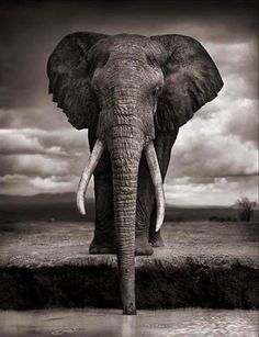 Nick Brandt (born 1964) is an English photographer who photographs primarily in the African continent one of his goals being to record a last testament to the wild animals and places there before they are destroyed by the hands of man.  His photography from 2001 to 2012 bore little relation to the colour documentary-style wildlife photography that is the norm. He photographed on medium-format black and white film without telephoto or zoom lenses.   As American photography critic Vicki…